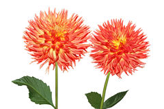 Two Dahlia Stock Image