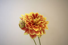 Two dahlia buds Royalty Free Stock Photography