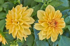Two dahlia flowers Royalty Free Stock Photo