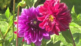 Two dahlia. Flowers purple and crimson stock video footage