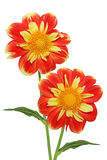 Two Dahlias Stock Images