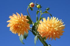 Two dahlias against blue sky. Two yellow dahlias with buds against blue sky Royalty Free Stock Photos
