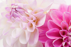 Two dahlias background Royalty Free Stock Image