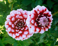 Two dahlias red and white Royalty Free Stock Photo