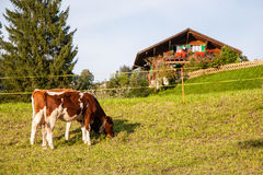 Two dairy cows(calf) on grass. In Switzerland Stock Photography
