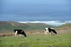Two dairy cows grazing by ocean Royalty Free Stock Image