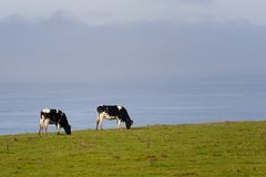 Two dairy cows grazing by ocean Stock Photo