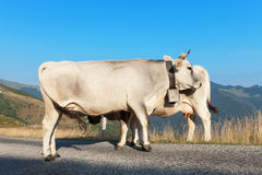 Two dairy cows Stock Photos