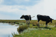 Two dairy cows standing near water Stock Photo