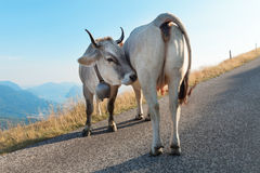 Two dairy cows Stock Images