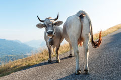 Two dairy cows Royalty Free Stock Photos