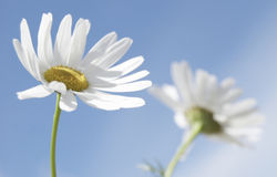 Two daises. Two white daises on the sky in summer day stock photos