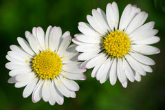 Two daises Royalty Free Stock Photos