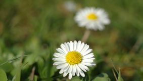 Two daisies. Macro of two daisies Royalty Free Stock Images