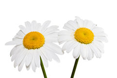 Two daisies. Royalty Free Stock Photo