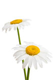 Two daisies. Two daisies isolated on a white background Stock Photo