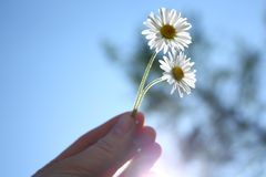Two daisies Royalty Free Stock Image
