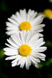 Two daisies. Spring meadow with two daisies. Macro shot, shallow depth of field Stock Photo