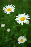 Two daisies. Daisies twins Royalty Free Stock Photography