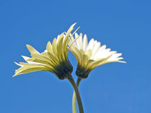 Two daisies on blue sky. A beautiful view of two delicate daisies in perfect, full bloom against a cloudless blue sky.  Note:  small insect visible on a petal Royalty Free Stock Photography