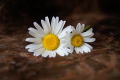 Two daisies with brown background Royalty Free Stock Photo