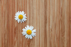 Two daisies Stock Photography
