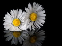 Two daisies, close, on shiny black with reflection Stock Image