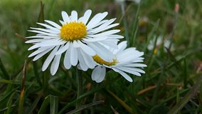 Sister Daisies. Two daisies close together against a grassy background in mid Spring Stock Images