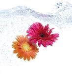 Two daisies diving in blue water. Turbulence Royalty Free Stock Images