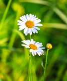 Two daisies in a field, close-up photo Stock Image