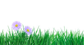 Two daisies on grass. Royalty Free Stock Images