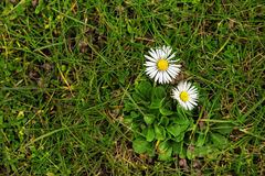 Two daisies in the grass from above, pretty flowers or lawn weed Stock Image