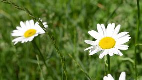 Two Daisies in Grass Field. Two daises sway in the green grass. Suitable for spring backgrounds videos, credits ot text video layouts .Daisy is an herbaceous stock video footage