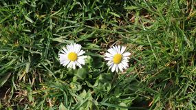 Two daisies on green grass. Available in high-resolution and several sizes to fit the needs of your project Stock Photography