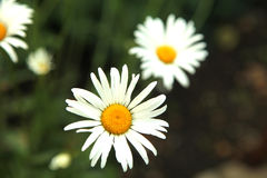 Two daisies on green grass close up Stock Image