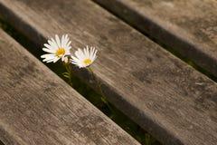 Two daisies Stock Photo