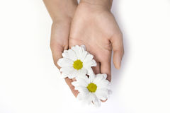 Two daisies in hands Stock Image