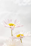 Two daisies. On a light background Stock Photos