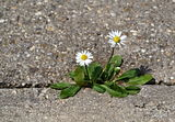 Two daisies on the sidewalk Royalty Free Stock Images