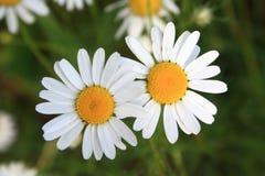 Two daisies Stock Photos