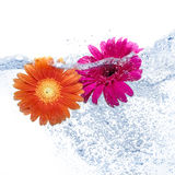 Two daisies into the water. Two colored daisies into the water on pure background Stock Photos