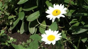 Two Daisies. Two white daisies, gently swaying in the wind