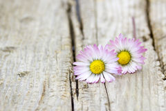 Two daisies on wooden background Royalty Free Stock Image