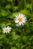 Two of Daisy flower growing Royalty Free Stock Photo