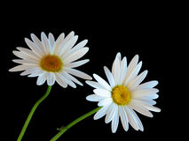 Two Daisy flowers Stock Photos