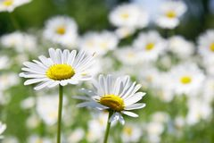 Two daisy flowers. On field background Stock Image