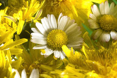 Two daisy flowers. Two daisis among dandelion flowers Stock Image
