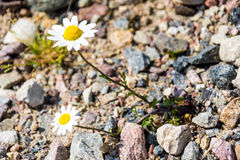 Two daisy growing on the stones Stock Images