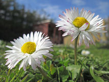Two daisy meadow. In the grass Stock Photos