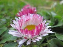 Two daisy meadow in macro Royalty Free Stock Photos